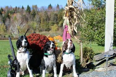 Heritage Farm Kennel - Dog Boarding, English Springer Spaniel